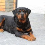 Rottweiler waiting outside apartment building