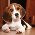 Beagle Dog Breed Profile: Temperament, Care, Health & More