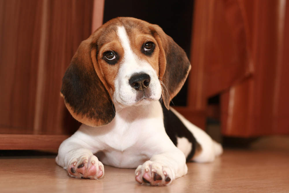 Beagle puppy posing for picture