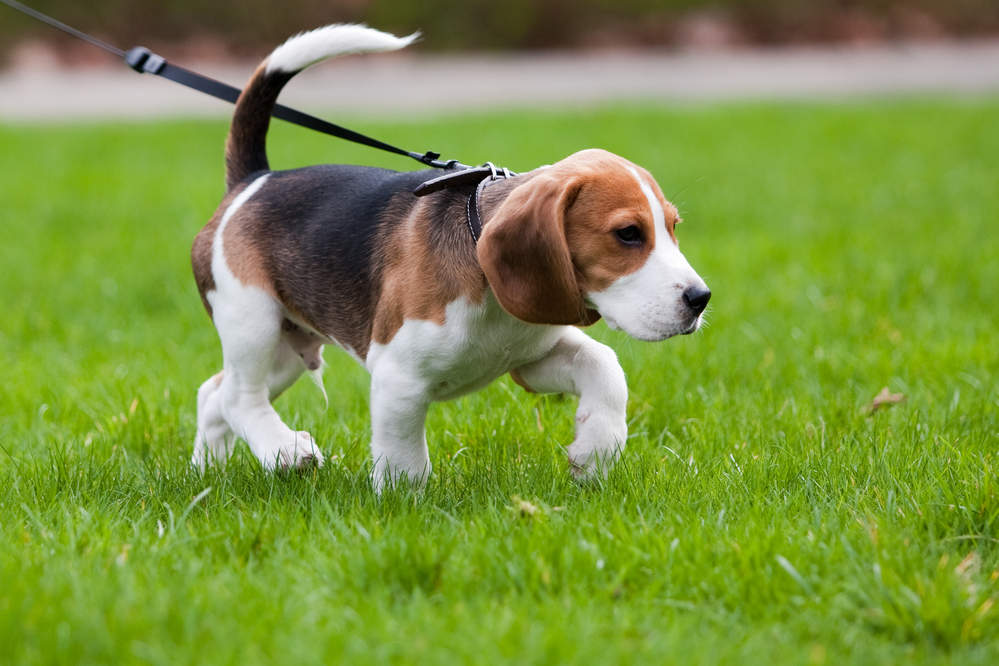 Beagle on the scent trail