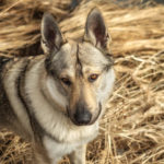 Top 15 Dog Breeds That Look Like Huskies