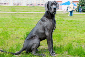 Great Dane sitting in the grass at the park