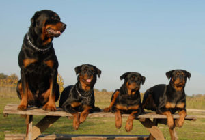 4 Rottweilers sitting on picnic table