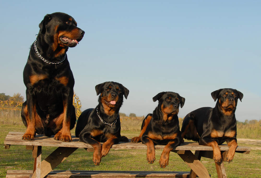 Rottweiler family of 4 posing for picture