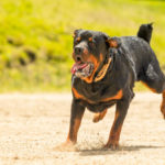 Rottweiler running on the beach