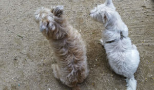 Westie and Cairn looking at something