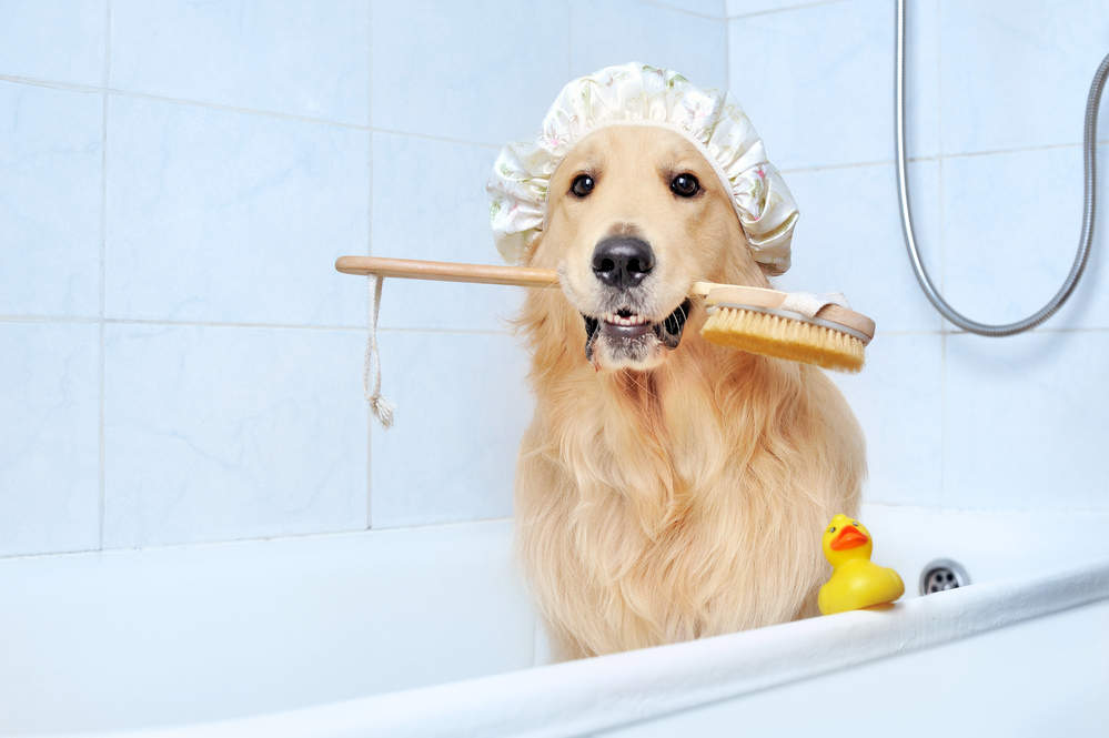 Golden Retriever sitting in bathtub waiting for grooming session