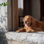 Are Golden Retrievers Good Guard Dogs?