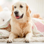 Golden Retriever Breed Profile: Everything You Need to Know