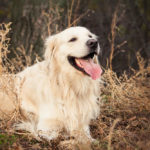 Are Golden Retrievers Smart?