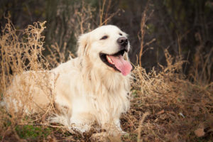 Golden Retriever smiling in the field