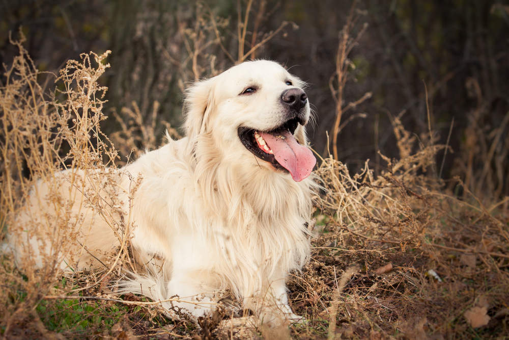 Golden Retriever smiling in a field