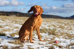 Vizsla getting ready to dig