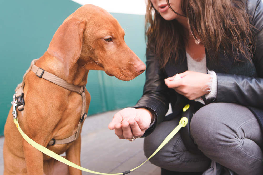 Vizsla being trained by owner