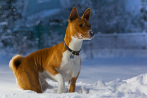 Basenji playing in the snow