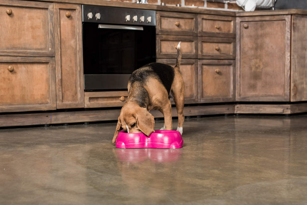 Beagle eating food with bowl on the floor
