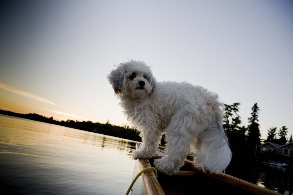 Bichon Frise swimming at the lake