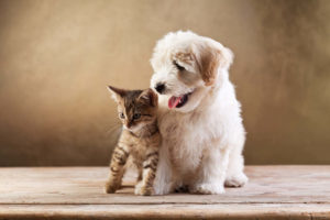 Bichon Frise with cat