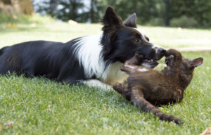Border Collie playing with a cat
