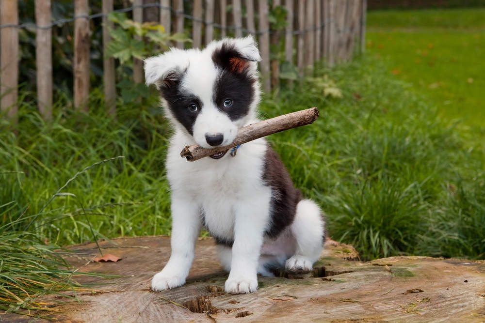 Growing border collie puppy playing in the grass