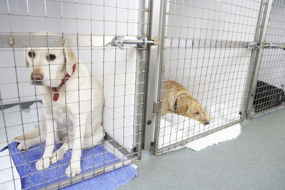 Dogs at a vet's boarding kennel