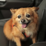 Pomchi going on a car ride