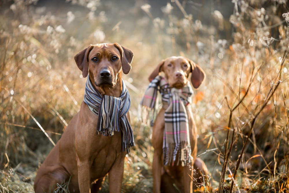 Vizsla and Ridgeback posing for autumn pictures