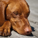 Are Vizslas Smart Dogs?