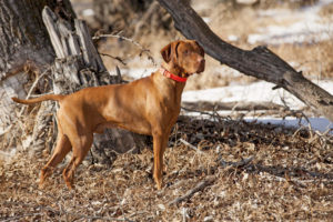Vizsla dog breed out hunting