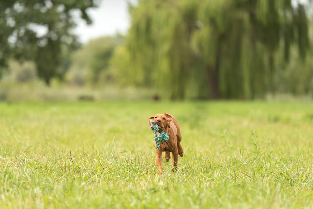 Vizsla playing with a rope toy at the park