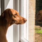 How Long Can a Vizsla Be Left Alone?
