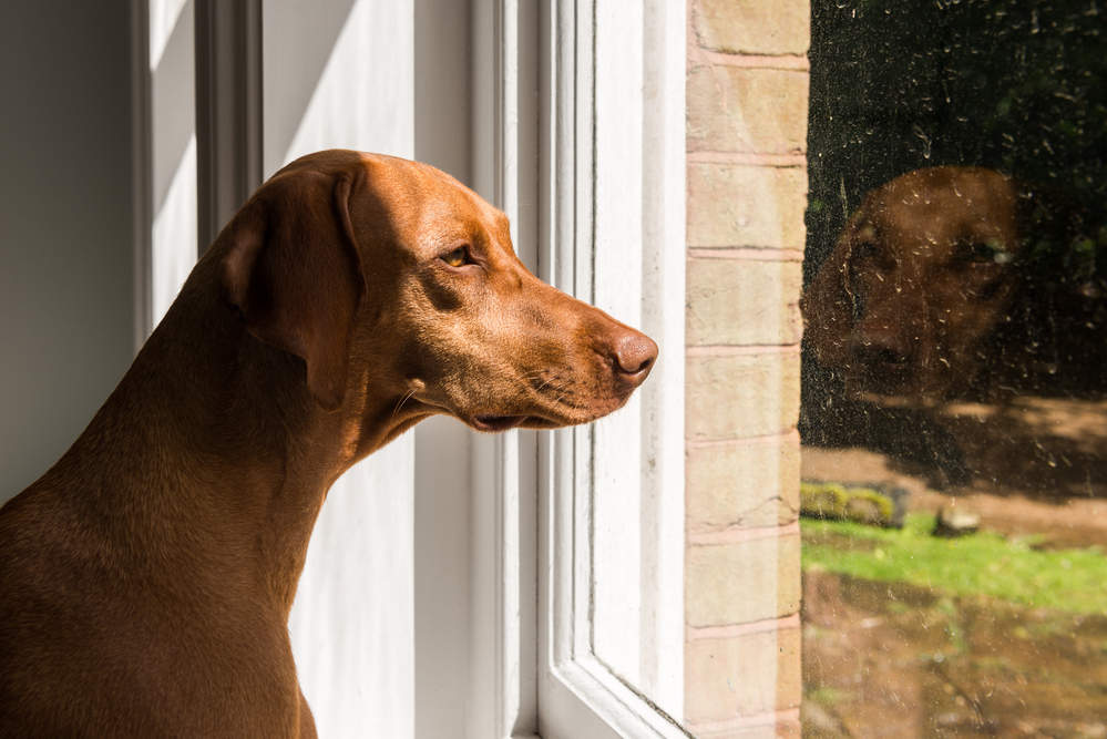 Vizsla home alone looking out the window