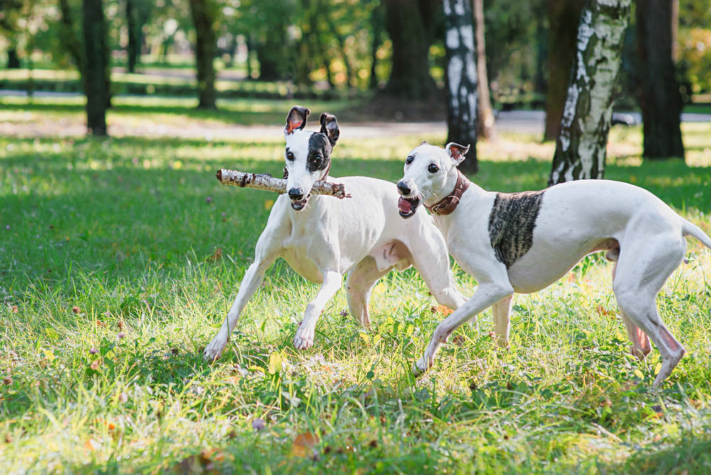 White whippets playing in the park