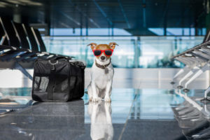 Dog at airport waiting for airplane wearing sunglasses