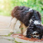 Why Do Dogs Like Drinking Rainwater?