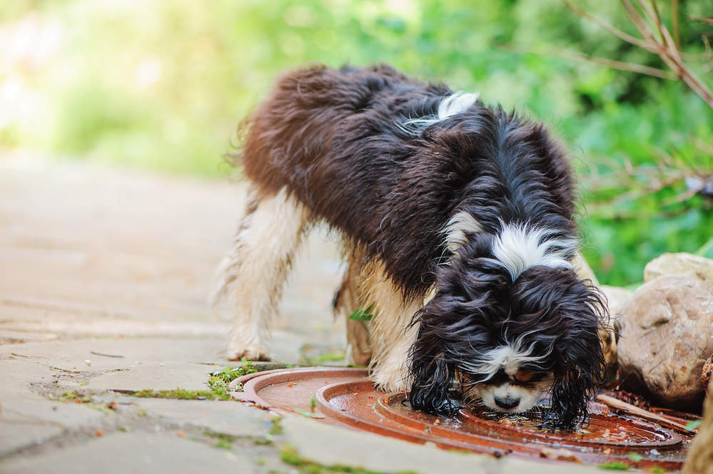 Dog drinking rainwater from a puddle