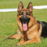 German Shepherd Dog Breed Profile: History, Care, Pros/Cons and Much More