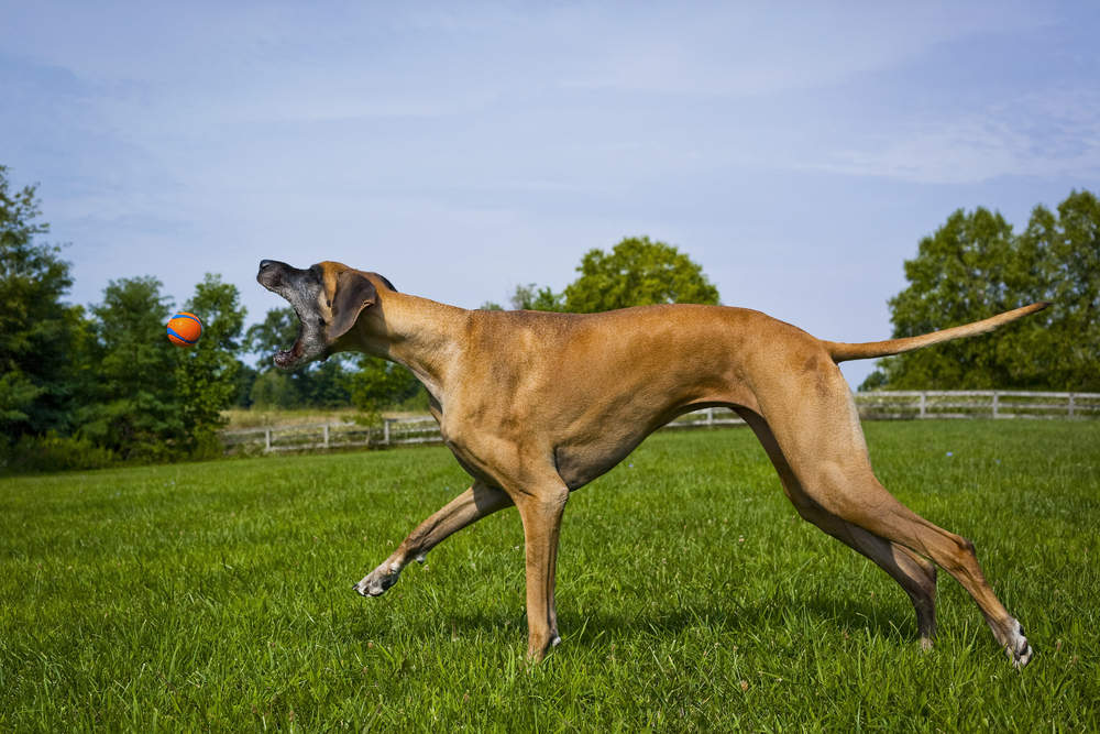 Great Dane chasing ball
