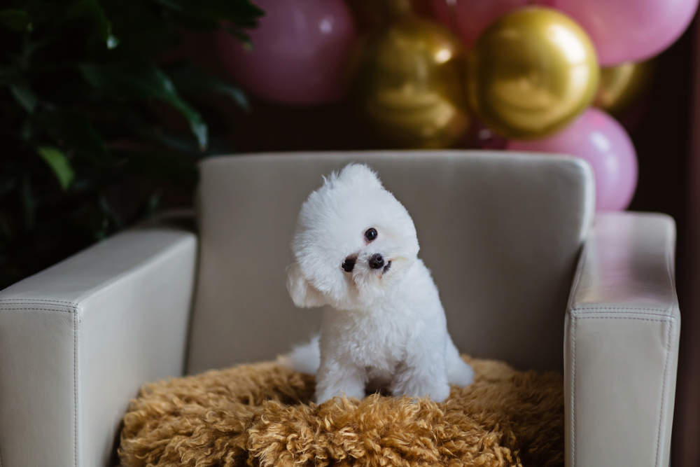 Bichon Frise sitting in chair home alone