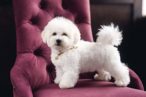 Bichon Frise posing in chair