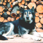 10 of the Most Popular Alaskan Malamute Mix Breeds