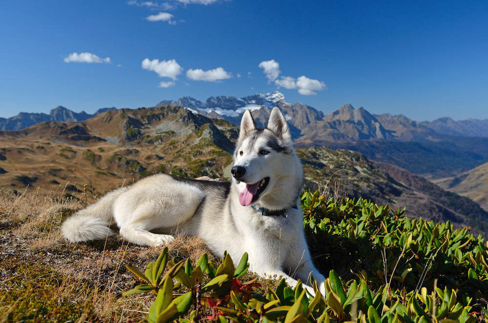 Husky in the mountains hiking