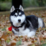 Can Huskies Be Service Dogs?