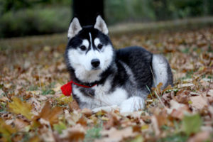 Husky sitting in leaves during autumn