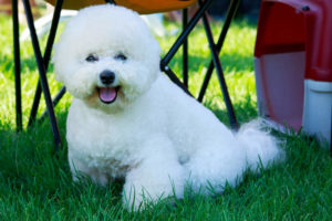 Overweight Bichon Frise sitting in grass