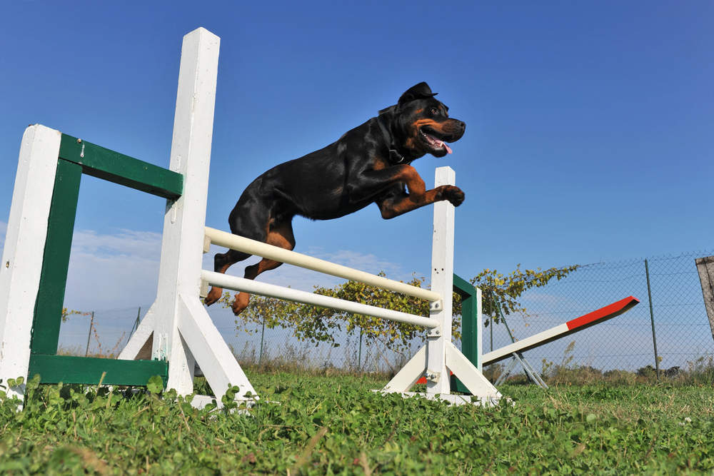 Rottweiler getting exercise on an agility course