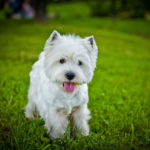 Cute Westie having fun outside