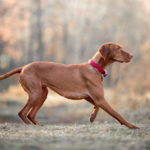 Vizsla running profile