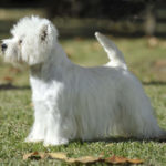 Well Groomed Westie Profile