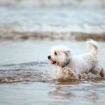 Can Westies Swim?